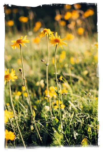 Wild arnica growing in a French field (c) Jung Blut 2016