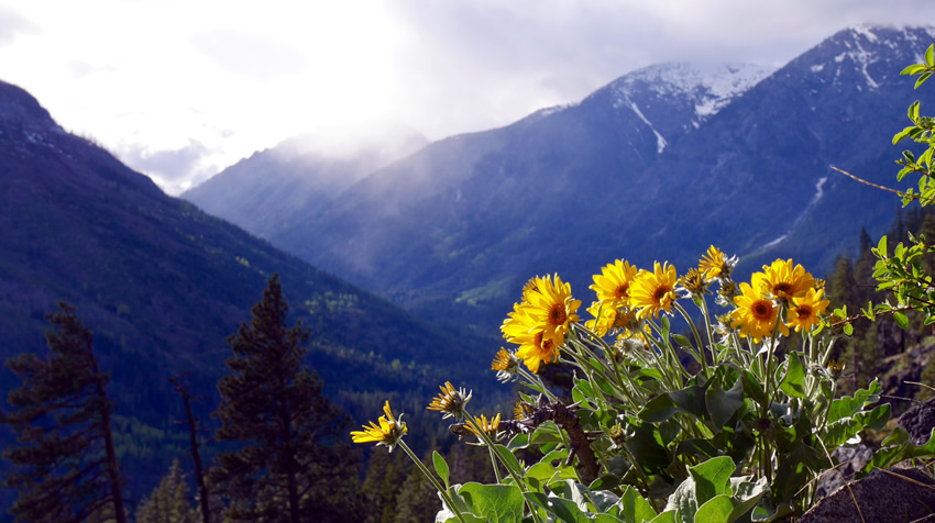 Arnica growing on a mountainside
