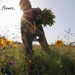 And in Flower - Arnica Harvesting