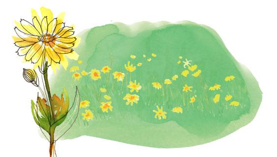Arnica montana flower and field of arnica